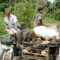 Cocnuts-and-monkeys-Paradise-Koh-Yao-near-Phuket-Thailand